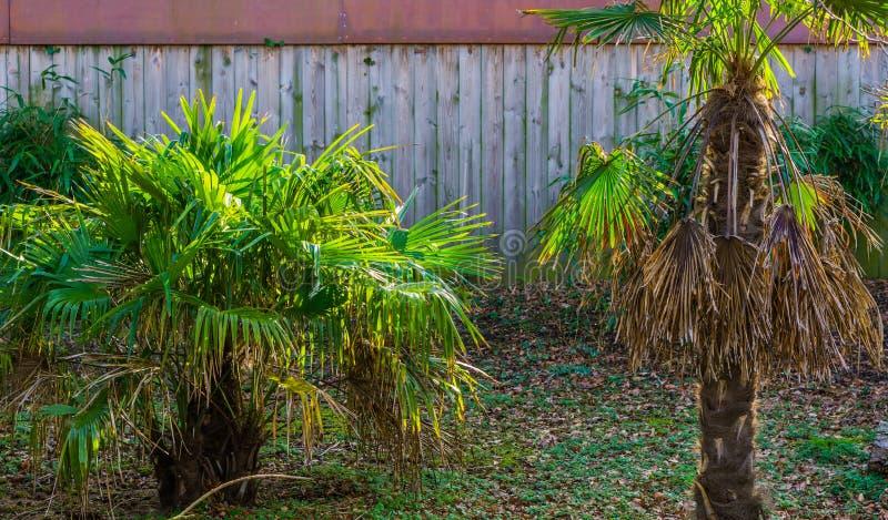 Kleine palmen in een exotische tuin, populaire installaties voor het verfraaien van en het creëren van exotische tuinen stock fotografie
