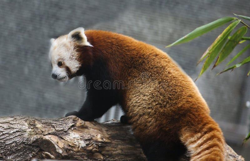 Kleine Panda Red Panda royalty-vrije stock fotografie