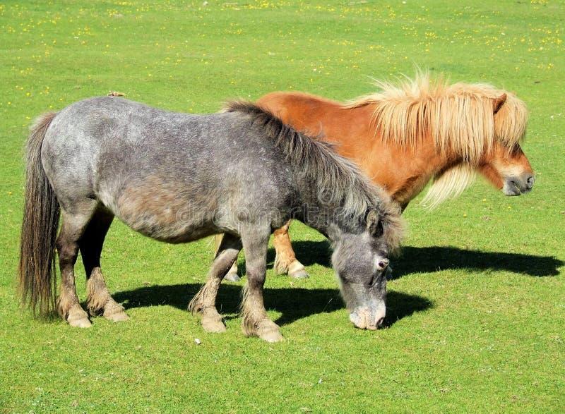 Kleine Pferde stockbild