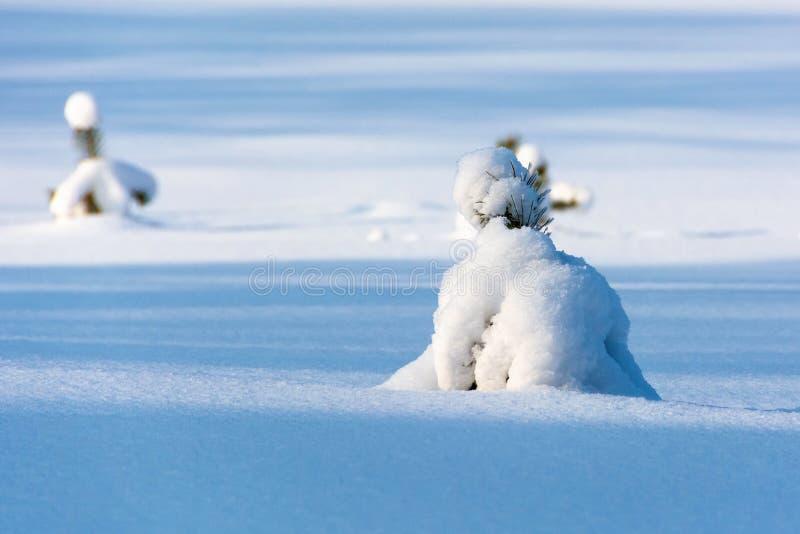 Kleine pijnbomen groeien op een met sneeuw bedekte bosruit royalty-vrije stock foto