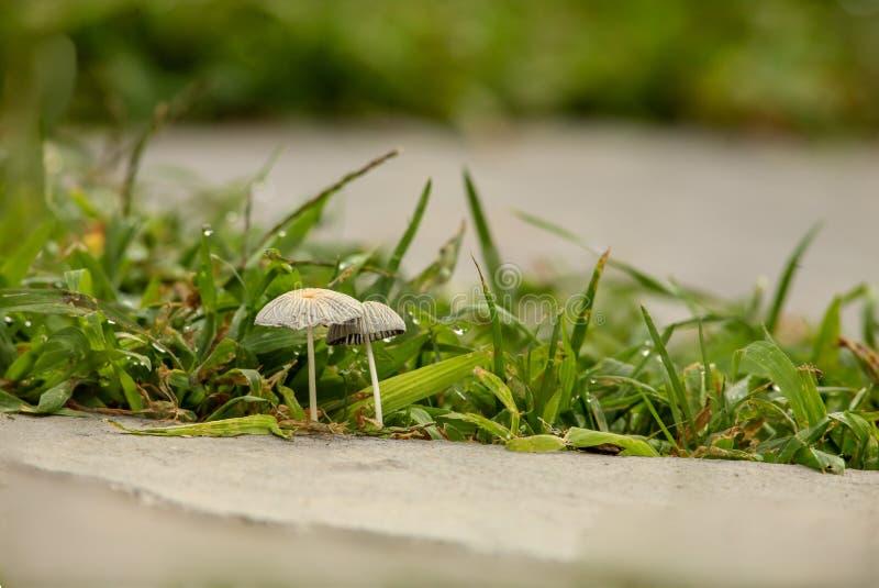 Kleine Pilze zwischen Steinplatten im Gehweg stockfotografie