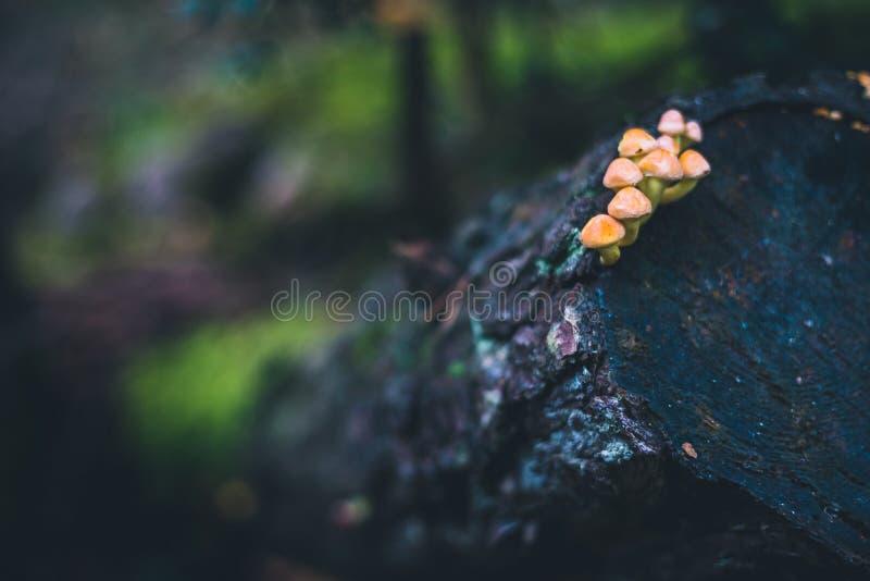 Kleine Pilzgruppe, die auf einem geschnittenen Baumstamm wächst stockfoto