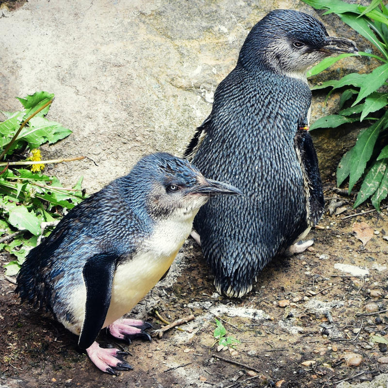 Kleine pinguïnen royalty-vrije stock foto