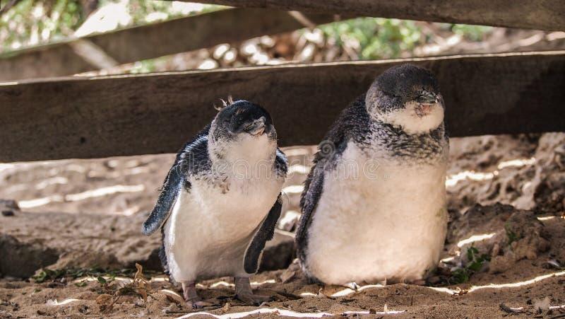 Kleine pinguïnen op Pinguïneiland, Rockingham, Westelijk Australië royalty-vrije stock afbeelding