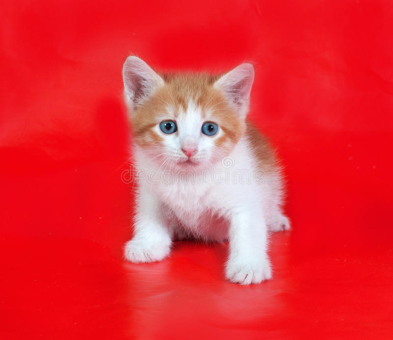 Kleine pluizige gember en witte katjeszitting op rood royalty-vrije stock foto's