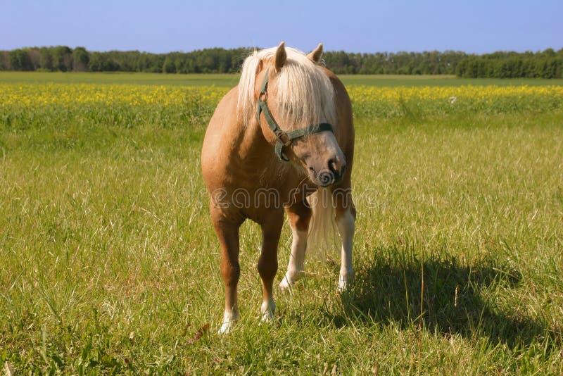 Kleine poney op een gebied stock fotografie