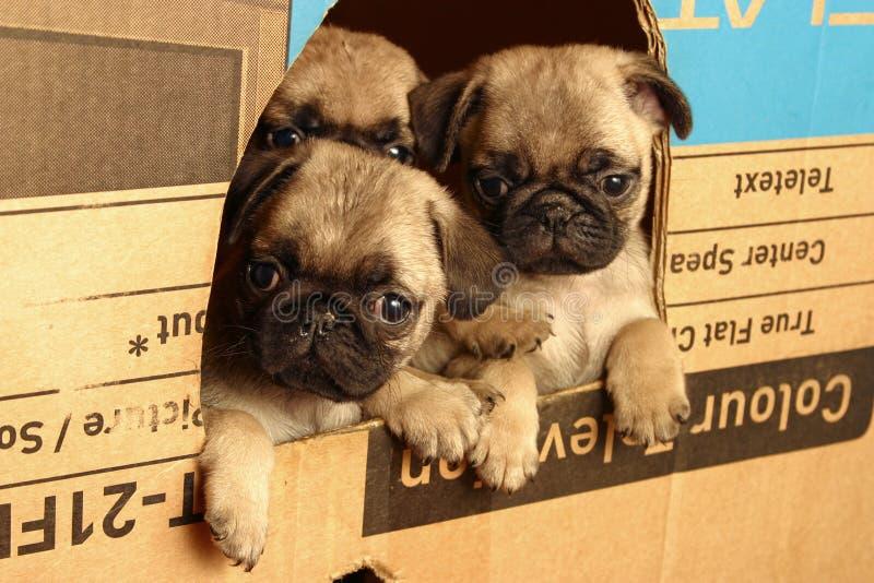 Kleine pugs royalty-vrije stock foto's