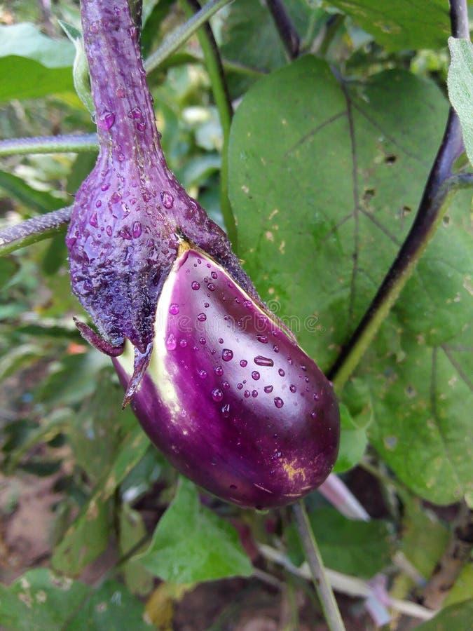 Kleine purpere aubergine royalty-vrije stock foto