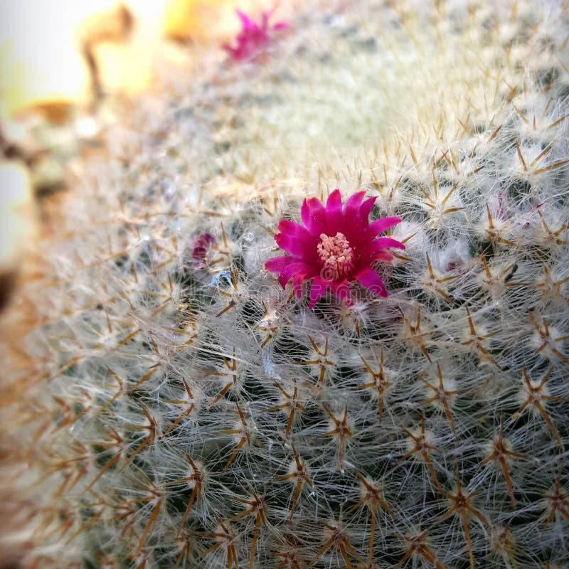 Kleine purpere cactusbloem royalty-vrije stock afbeeldingen
