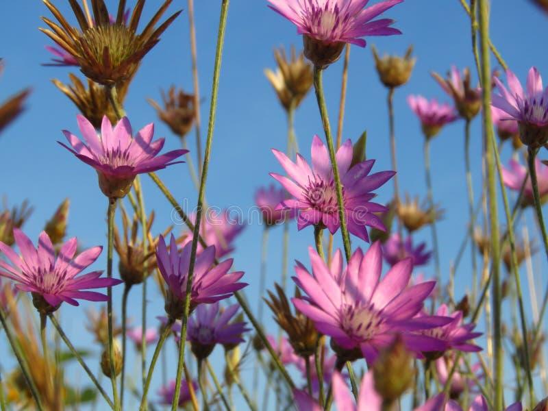 Kleine purpere roze weidebloemen tegen blauwe hemel Geschikt voor bloemenachtergrond Het wilde behang van de zomerbloemen royalty-vrije stock foto's