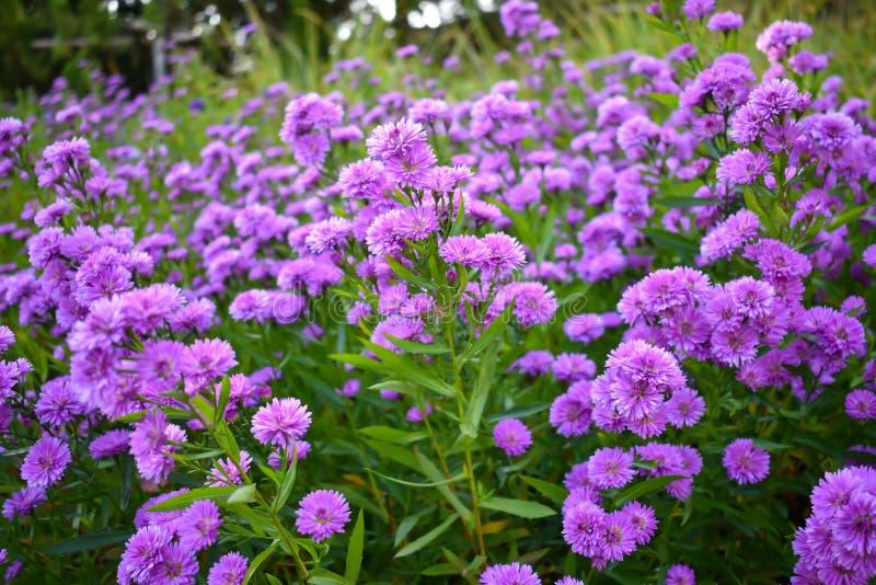 Kleine purpurrote Blumen im Garten Getrennt auf Wei? stockbild
