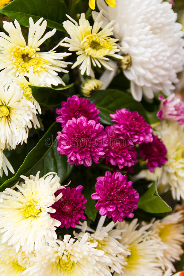 Kleine purpurrote Chrysanthemen lizenzfreie stockfotos