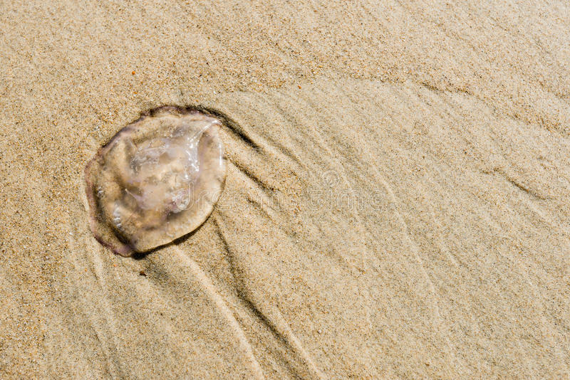 Kleine Quallen auf dem Strand am Abschluss stockbilder