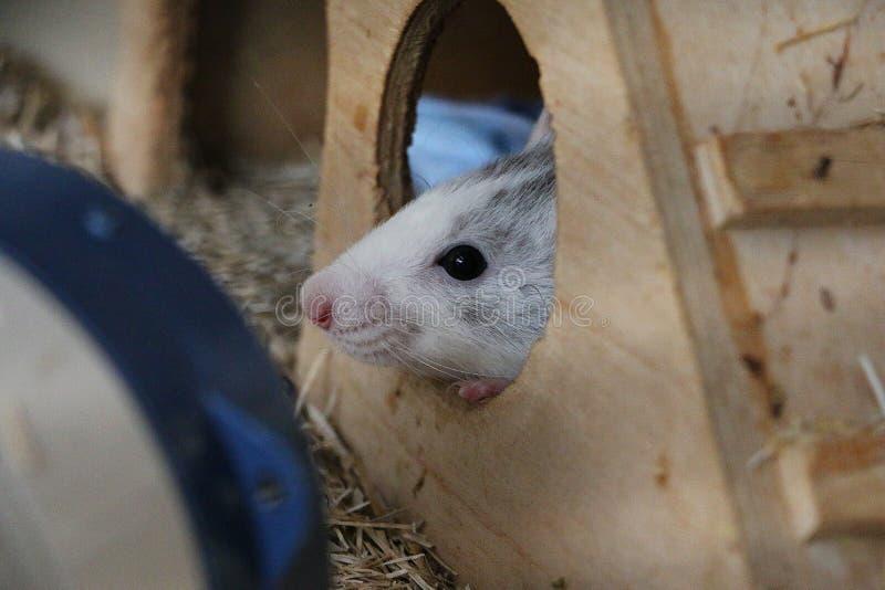 Kleine rat in zijn huis stock foto