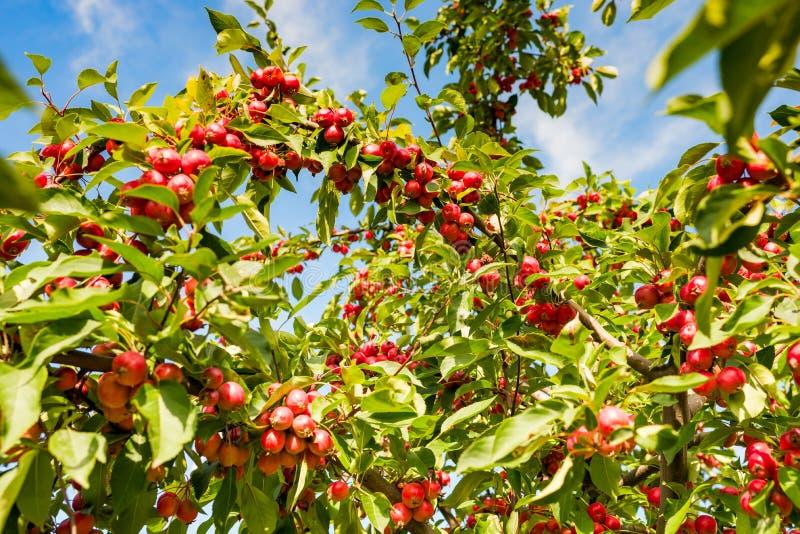 Kleine reife Äpfel auf einem Baum stockbilder
