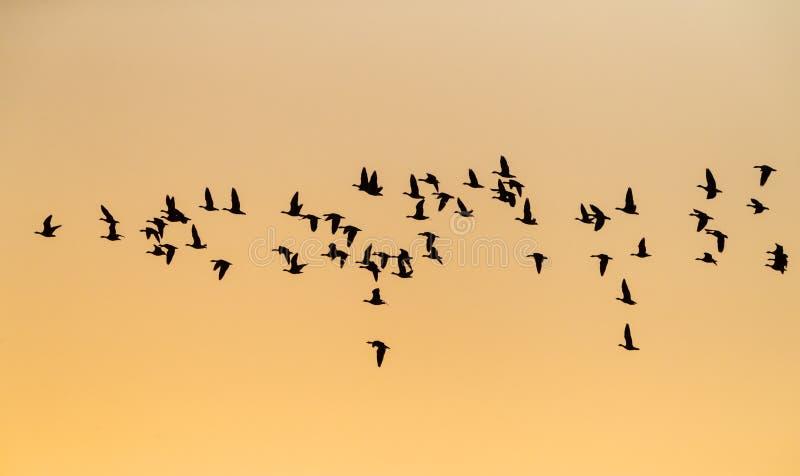 Kleine Rietgans, Pink-footed Goose, Anser brachyrhynchus. Goep overwinterende Kleine Rietganzen; Wintering flock Pink-footed Geese (Anser brachyrhynchus) in royalty free stock photography