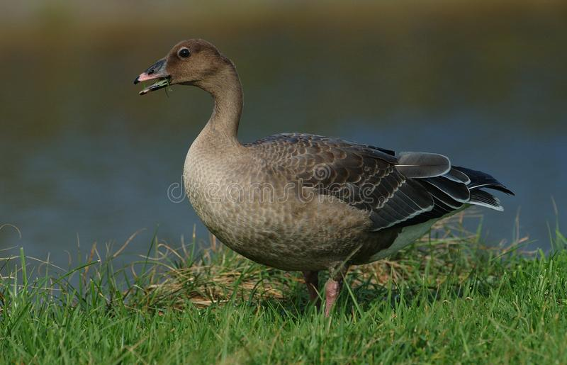 Kleine Rietgans, Pink-footed Goose, Anser brachyrhynchus. Jonge Kleine Rietgans; Immature Pink-footed Goose royalty free stock photos