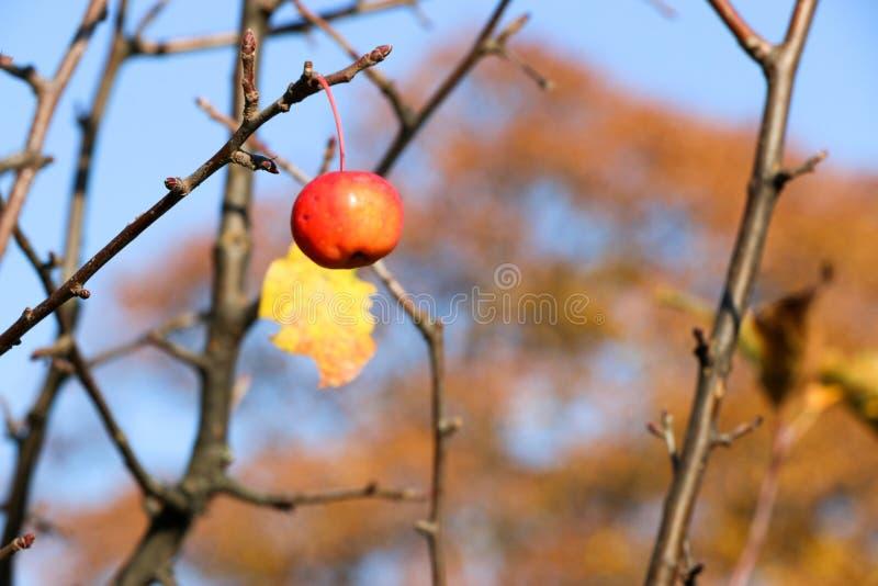Kleine Rode Appelen en Blauwe Hemel Malusfloribunda stock afbeelding