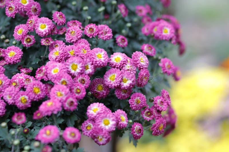 Kleine rode chrysant, rgb adobe stock foto's