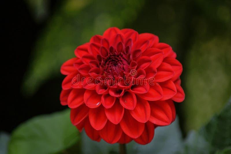Kleine rode dahlia royalty-vrije stock fotografie