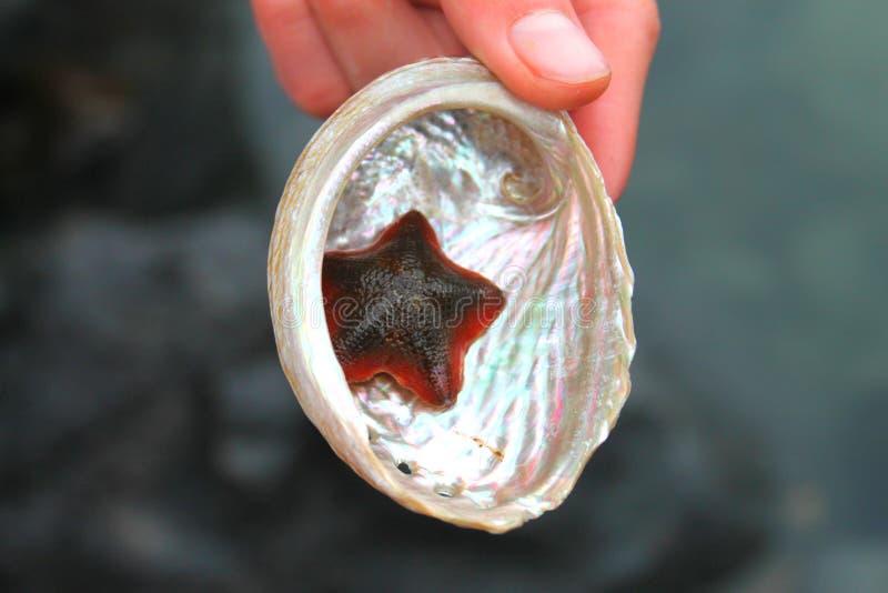 Kleine rode en zwarte zeester in parelachtige gekleurde overzeese shell royalty-vrije stock fotografie