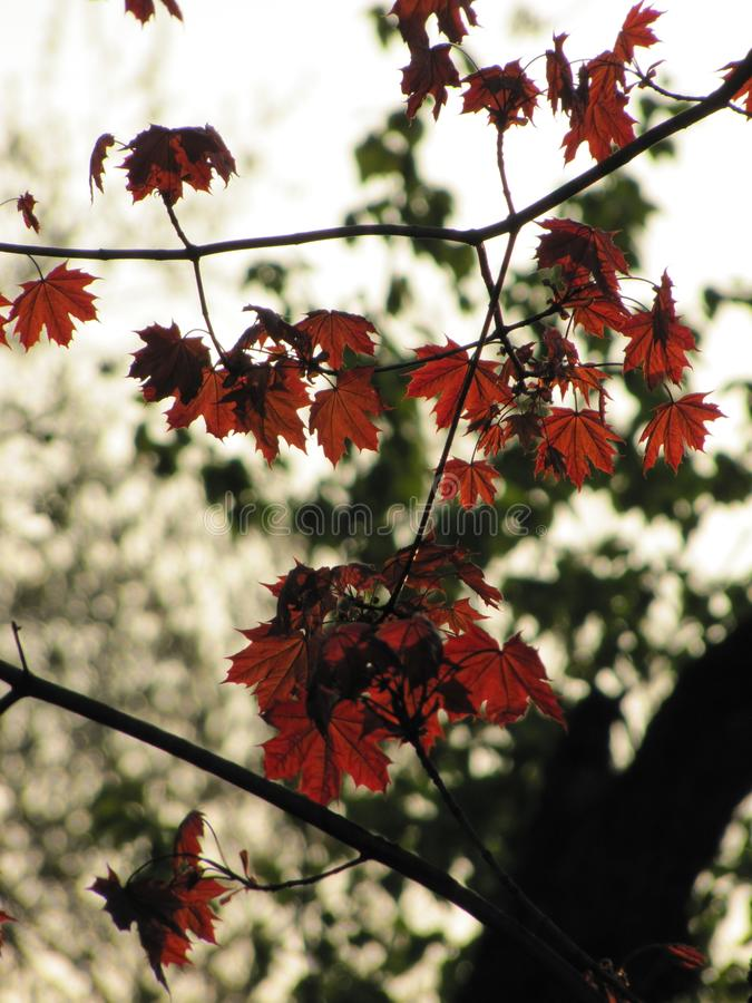 Kleine rode esdoornbladeren in een de herfstpark royalty-vrije stock fotografie