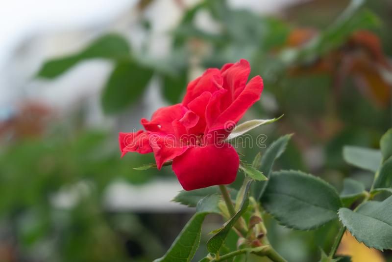 Kleine Rode Rose Full Bloom royalty-vrije stock afbeelding