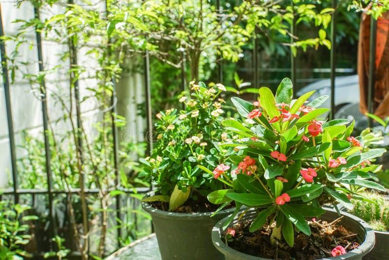 Kleine rode Wolfsmelkmilii in een pot tuiniert thuis stock foto