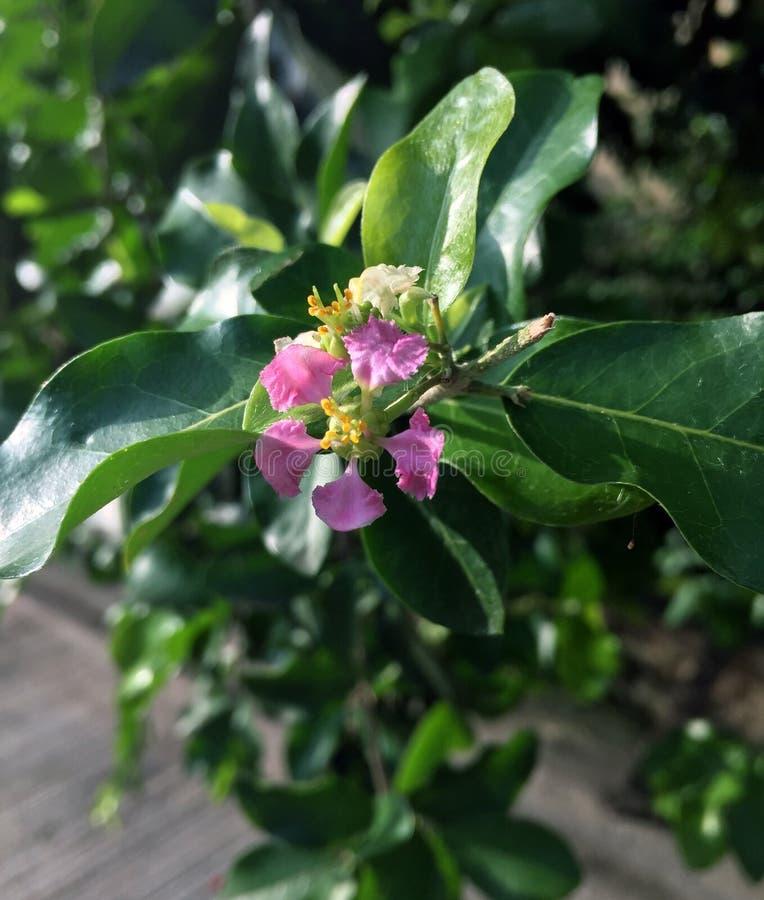 Kleine rosa Blume von Surinam-Kirsche auf dem Baum stockfotos
