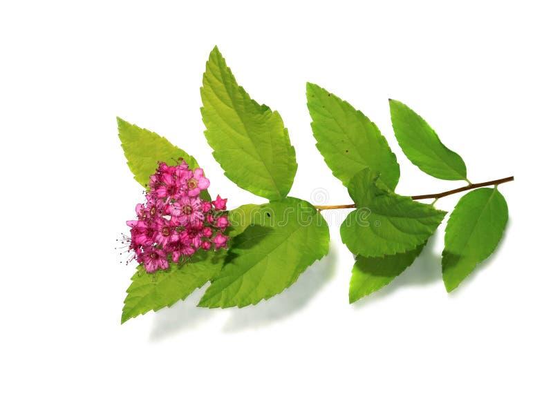 Kleine rosa Blumen verzweigen sich mit grünen Blättern auf weißem Hintergrund lizenzfreie stockbilder
