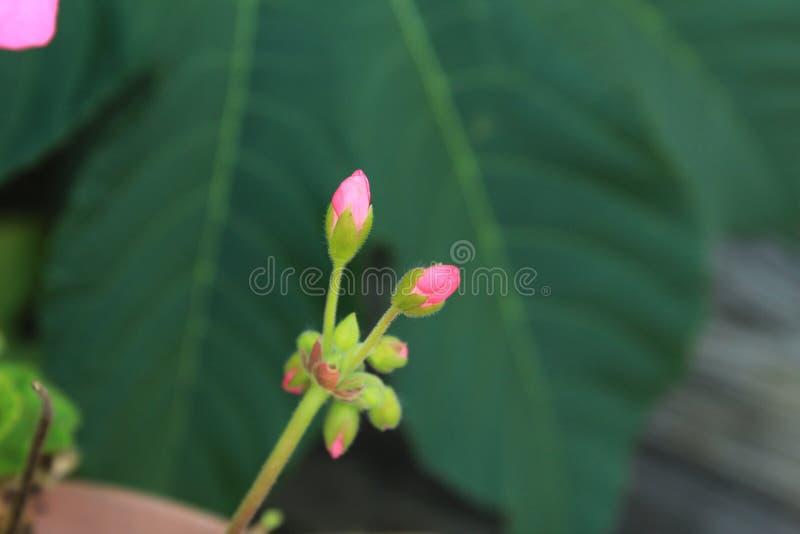 Kleine rosa Pelargonie knospt gegen einen grünen Hintergrund stockfotos
