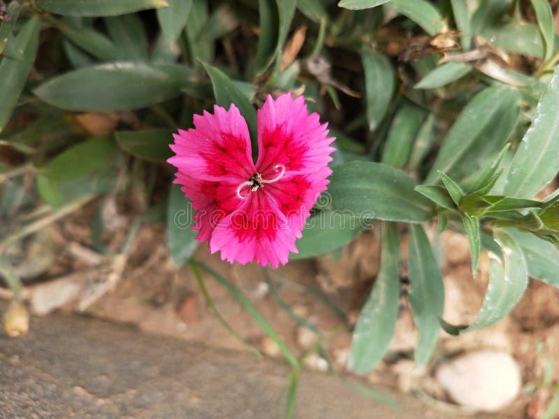 Kleine rosafarbene Blume lizenzfreie stockbilder