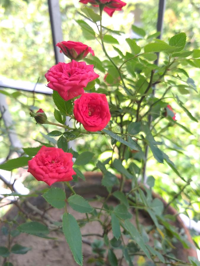 Kleine Rose meines kleinen Gartens stockfotografie