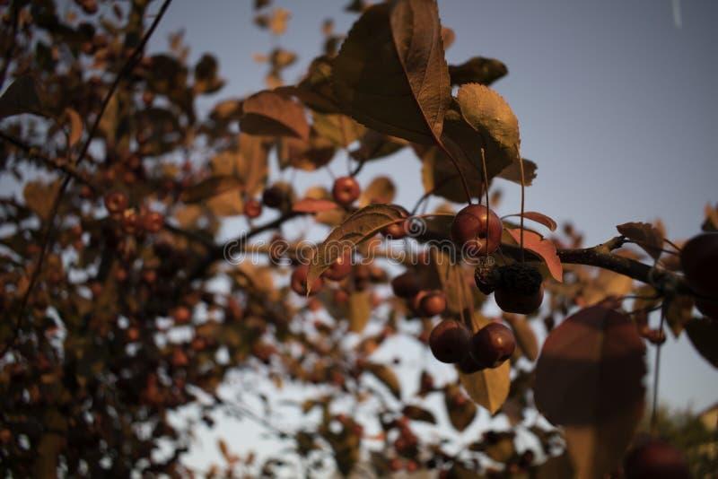 Kleine rote Äpfel stockbild