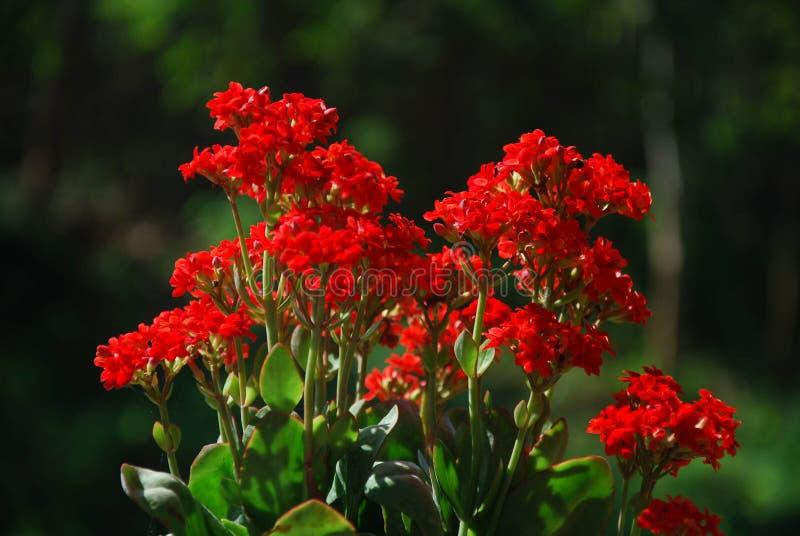 kleine rote blumen die auf dem berg bei doi mae au kor mae hong sorn thailand bl hen. Black Bedroom Furniture Sets. Home Design Ideas