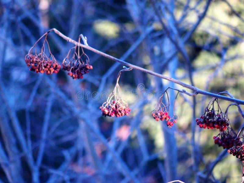 Kleine rote wilde Beeren im Wald stockfotos