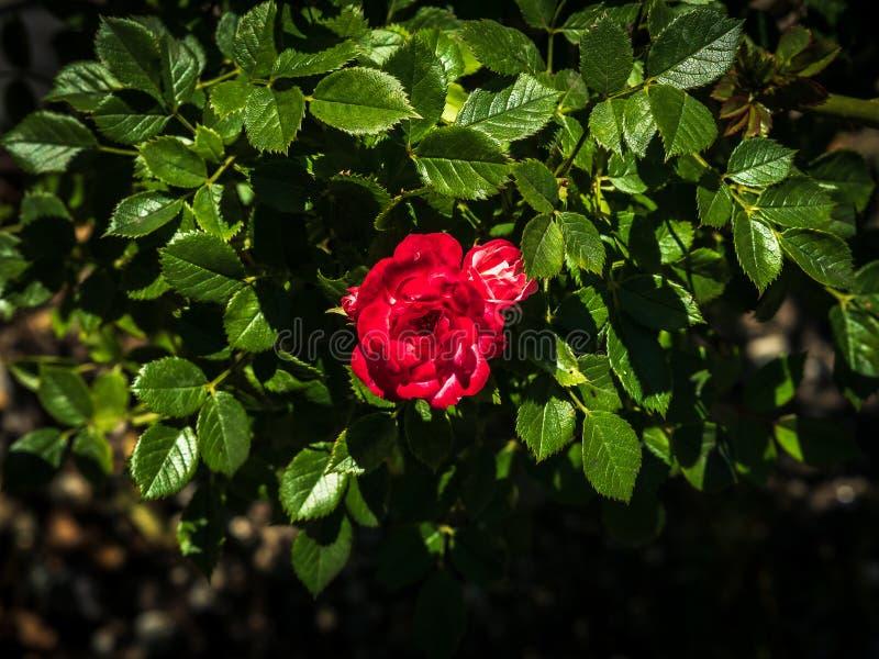 Kleine Rotrose gestaltet durch dunkelgrüne Blätter stockfotos