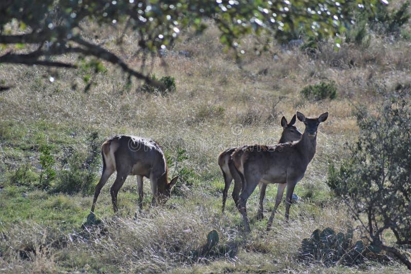 Kleine Rotwild-Herde stockbild