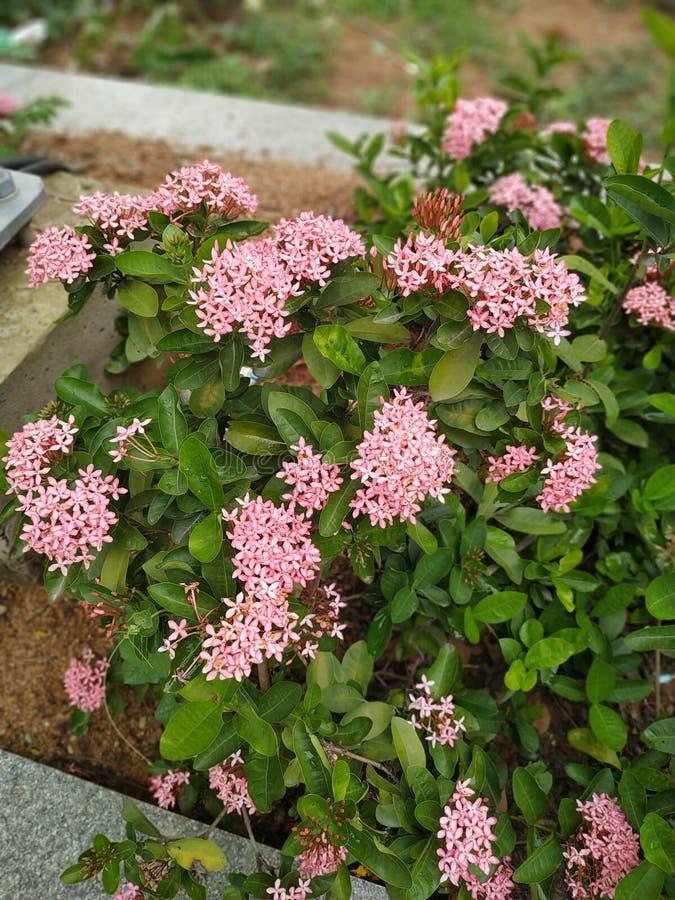 Kleine roze bloemen royalty-vrije stock afbeelding