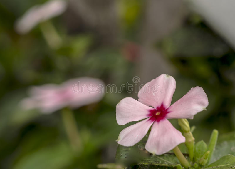 Kleine roze maagdenpalm macrofoto stock foto