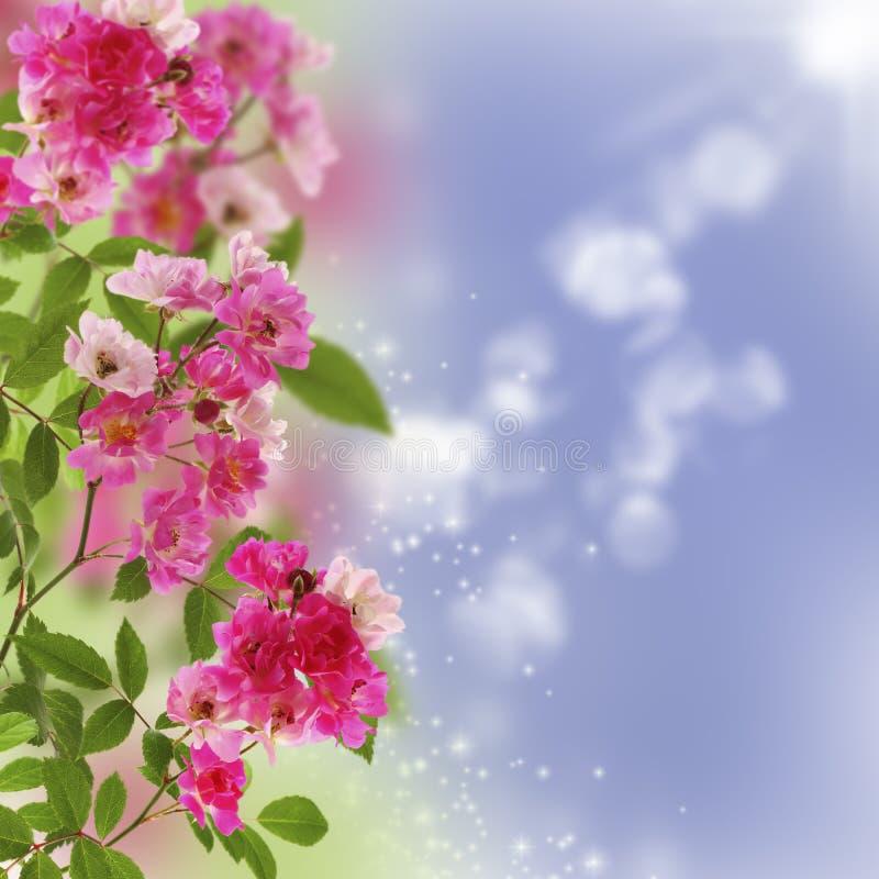 Kleine roze rozen royalty-vrije stock afbeeldingen