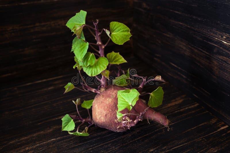 Kleine Süßkartoffel, die frische grüne Blätter keimt lizenzfreie stockfotos