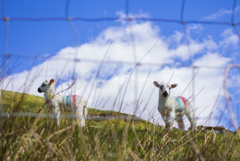 Kleine Schafe lizenzfreie stockbilder