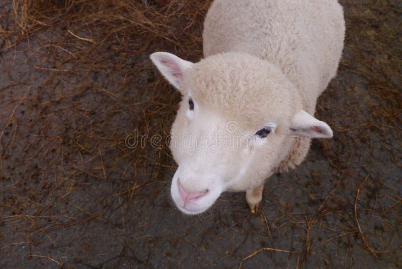 Kleine Schafe in einem Bauernhof lizenzfreies stockfoto