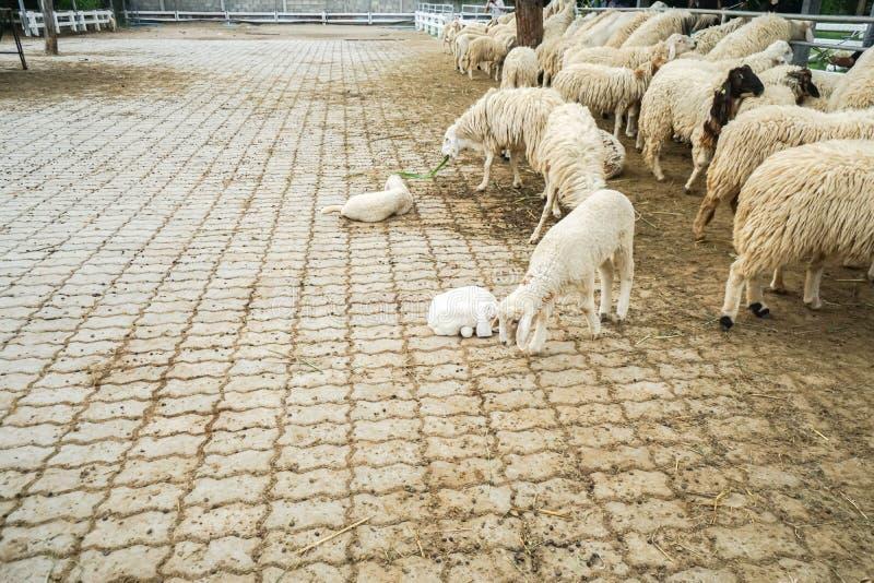 Kleine Schafe im konkreten Bauernhof im Freien lizenzfreie stockfotografie