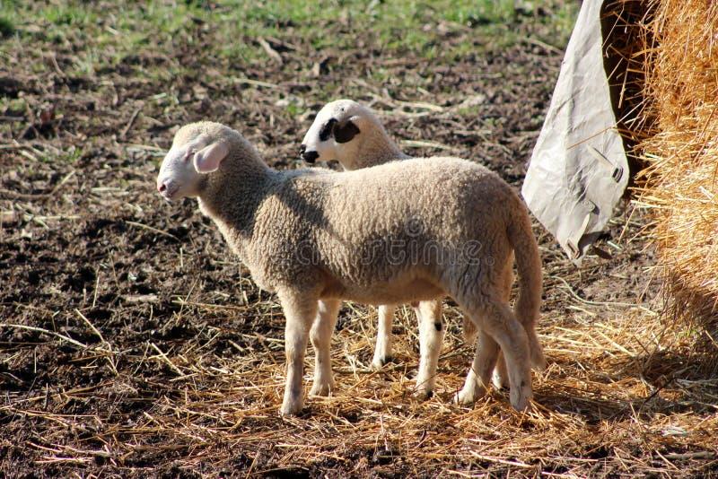 Kleine schapen en weinig lam die zich naast hooibergvoeder bevinden stock foto's