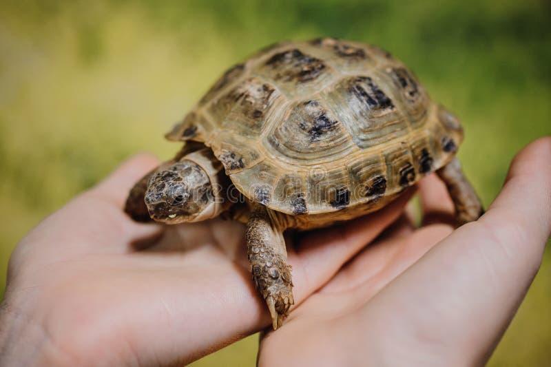 Kleine Schildkröte, Haustier in den Händen von Mädchen stockfotos