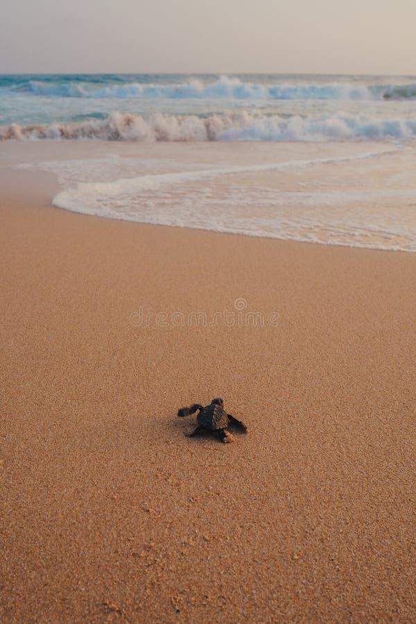 Kleine Schildkröten, die zum Ozean sich zurückziehen stockfotos