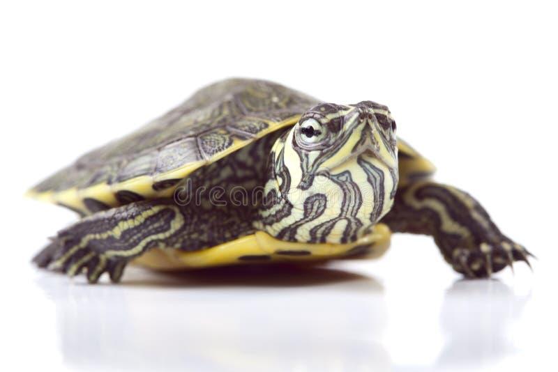 Kleine schildpad royalty-vrije stock afbeeldingen