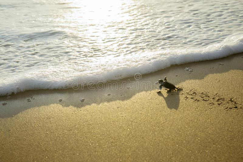 Kleine schildpadden die naar het overzees kruipen stock afbeelding